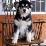 Jean Nice B/G Alaskan Malamute Puppies For Sale