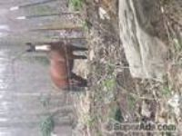 stallion for sale