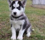 khgujtf nice Siberian husky puppies ready now