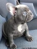 Rationally Blue French Bulldog Puppies for sale