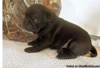 Best Cute Male and Female Black Pug Puppies