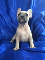 French Bulldog PUPPY FOR SALE ADN-63705 - Amazing beautiful French bulldog puppies