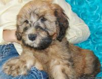 Whoodle puppies for sale