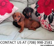 Bubbly M/F Mini Dachshund Pups Available For Sale