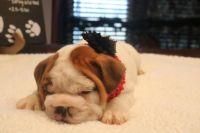 English Bulldog PUPPY FOR SALE ADN-63155 - AvailaBULL  Standard English Bulldog