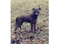 Adopt Diesel a Pit Bull Terrier