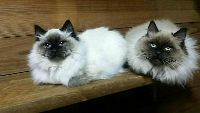 ghyjrk Adorable sweet Ragdoll kittens for sale