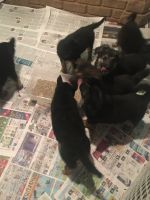 German Shepherd Dog PUPPY FOR SALE ADN-48591 - German Shepherd puppies for sale need good homes