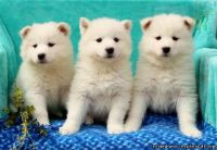 Home Raised Akc Samoyed Puppies for Adoption