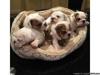 Protective English bulldog puppies available