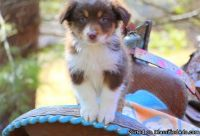 Best Ever Male & Female Australian Shepherd Puppies