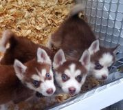 male and female Siberian husky puppies now available for their new homes