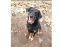 Adopt Ramsey a Black - with Tan, Yellow or Fawn Shepherd (Unknown Type) / Mixed