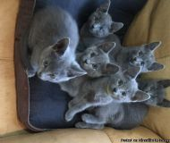 Gccf reg russian blue kittens available