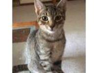 Adopt Jersey a Brown Tabby Domestic Mediumhair / Mixed cat in Garner