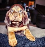 Bloodhound PUPPY FOR SALE ADN-65017 - Black Creek Bloodhounds