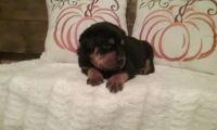 Rottweiler PUPPY FOR SALE ADN-53162 - Rottweiler puppies