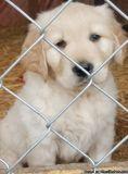 Angelic Male & Female Golden Retriever Puppies