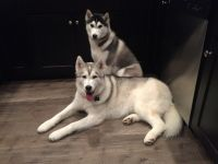 Siberian Husky PUPPY FOR SALE ADN-63405 - 2 one year old husky littermates
