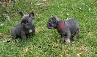 French Bulldog PUPPY FOR SALE ADN-53672 - Blue Tan and Chocolate