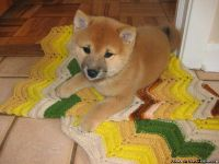 BVNRET MAGNIFICENT SHIBA INU PUPPIES AVAILABLE FOR SALE Text: (4O4) 692 XX 3714