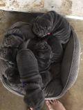 Chinese Shar-Pei PUPPY FOR SALE ADN-53625 - AKC Mini Shar Pei Blue Pups