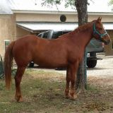 12 YO Mustang Mare! Short, stout trail horse for exp. rider!