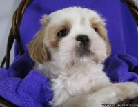 Tri-colour Shih Tzu puppies for sale