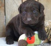 Angelic Male & Female Labrador Retriever Puppies