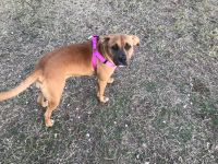 BOXER MIX FROM ANIMAL CONTROL