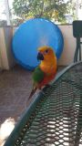 Handed Jenday Conure for sale