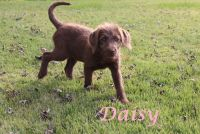 Labradoodle PUPPY FOR SALE ADN-53764 - Family raised F1 labradoodle puppies