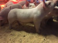 York and duroc cross pigs 1 month old