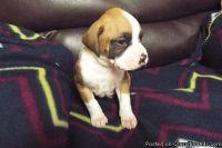 XSWE M\F Boxer Puppies