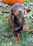 Miniature Dachshund Puppies Ready Now
