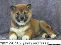 DFZS(#!*^)Pure Shiba Inu Puppies