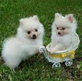 Registered Pomeranian puppies for sale