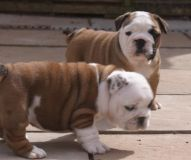 English bulldog puppies male and female urgent adoption