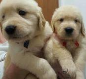 tteggeb Male and female Golden Retriever Puppies,