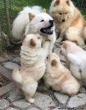 sergthtf litter of AKC cream chow chow puppies