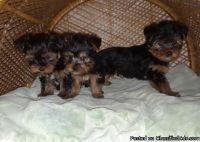 OIRJDC M\F AKC Yorkshire Terrier Puppies