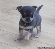 Male and Female Baby Chihuahua Puppies