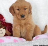 LKJIHJNKB Golden Retriever puppies