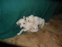 2 male puppies free to a GREAT home... (rayville, la)