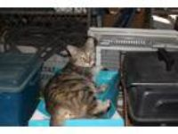 Adopt Tiger Momma a Tiger Striped American Shorthair (short coat) cat in