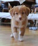 Registered Nova Scotia Duck Tolling Retriever puppies for sale