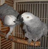 Beautiful Baby African Greys
