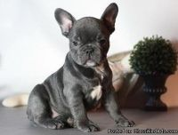Graceful Blue French Bulldog Puppies Available