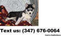 Radiant b/g Adorable Alaskan Malamute Puppies For Sale
