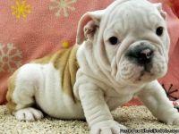 IUYGGHGV English Bulldog Puppies